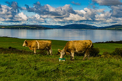 Twa Coos (Half A Century Of Photography) Tags: cow cows cattle animal animals eating coo coos two twa isleofcumbrae cumbrae great ayrshire northayrshire argyll bute kylesofbute firthofclyde clyde clouds sky landscape seascape skyscape pentaxkr pentax pentaxdal peaceful p