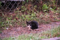 Railroad kitty , Wrocław Główny depot 11.09.2017 (szogun000) Tags: cat kitty kotek kociamber pet critter canon canoneos550d canonefs18135mmf3556is