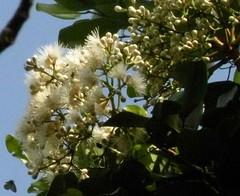 syzygium.forte.flowering (dave.kimble) Tags: syzygiumfortesubspforte syzygium myrtaceae flakybarkedsatinash brownsatinash arfp tropicalarf littoralarf arfflowers whitearfflowers