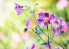 Japanese Anemones (mclcbooks) Tags: flower flowers floral denverbotanicgardens colorado japaneseanemones