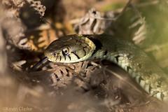 Grass Snake (Natrix Helvetica) (kevinclarke1969) Tags: natrix grass snake reptile uk england natural