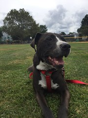 Xander absolutely loves to visit the nearby park. (twilightsolo) Tags: doginapark pet pitbullmix pitbulls pitbull dog