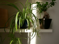 afternoon sunshine (auroradawn61) Tags: athome hamworthy poole dorset uk england september 2017 lumixlx100 houseplants cornersofmyhome shelving bonsai explored interestingness