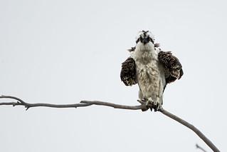 Osprey on an Overcast Day
