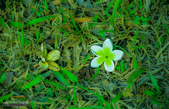 2 Entity (Sagor's) Tags: abstract nature naturalphotography natural nikon naturephotography nikond5300 nikon5300 naturephoto naturalphoto nikkor newleaf new nice flower flowerphotography flowers field grass green greens garden grasses awesome 55200 55mm bangladesh bd black white whiteflower