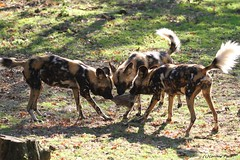 Lycaons (Passion Animaux & Photos) Tags: safari peaugres france lycaon african wild dog
