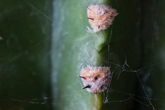 cactus and web (Francis Mansell) Tags: cactus plant macro spine thorn areole spidersweb spiderweb echinopsis