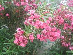 138 (en-ri) Tags: fiori flowers arbusto rosa verde foglie leaves sony sonysti