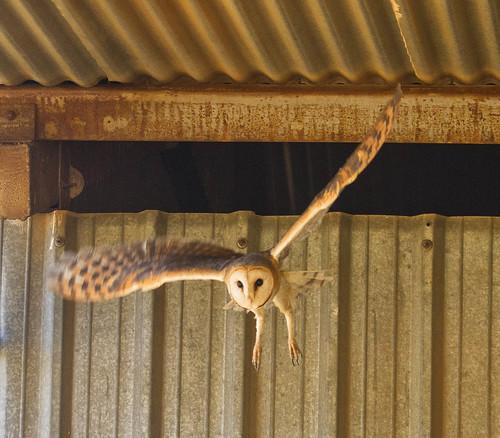 Western barn Owl , flying from barn_9279