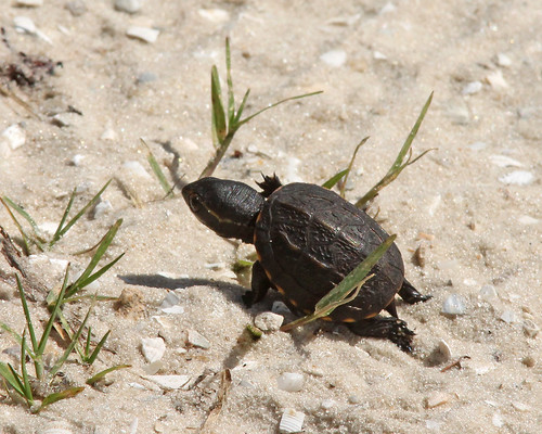 Striped Mud Turtle hatchling (Kinosternon baurii)