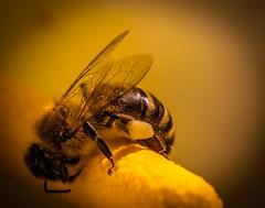Spring fever (dmunro100) Tags: bee spring adelaide warm sunday botanical gardens pollen arumlily canon eos 80d ef100mmf28lmacroisusm