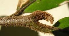 mischocarpus.exangulatus.growing-tip (dave.kimble) Tags: mischocarpus mischocarpusexangulatus sapindaceae redbellmischocarprextokoonja arfp qrfp cyrfp tropicalarf lowlandarf uplandarf understoreyarfp leaf