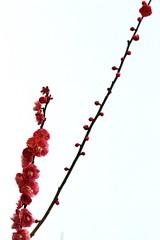 Plum blossoms (vermillionhorizon) Tags: shanghai china spring plumblossoms flowers centurypark