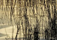 Golden River - Rivière dorée (monteregina) Tags: québec canada ca abstract reflection ciel sky clouds nuages nature water eau colors couleurs montérégie ottawariver rivièredesoutaouais reflets reflections ripples waterfront monteregina waterscape goldenglow fluss mirage reflexion réflexions goldentones tonsdorés abstractreflections réflexionsabstraites watersurface matin morning waterreflections refletssurleau roseaux reeds graphique graphics waterart artofwater waterabstract eauabstraite surfacedeleau graphisme ondulationsabstraites ondulationsreflectives naturesgraphicdesing joncs lilypads nénuphars patterns motifs