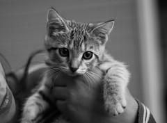 Kitty (lalo17cas1) Tags: gatita gato 50mm18d d7100 kitten cat cutekitty kitty