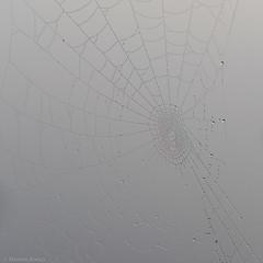 Waterdrops, spiderweb and fog (Mr.Borup) Tags: fog tåge waterdrops vanddråber dråber spindelvæv spiderweb
