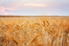 Summer (Pásztor András) Tags: wheat summer field sunlight sky blue yellow rural moody tones nature dslr nikon d5100 hungary andras pasztor photography 2017
