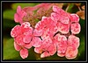 """Hydranging..."" (NikonShutterBug1) Tags: macro closeup nikond7100 tokina100mm nature wildlife spe smartphotoeditor hydrangea flower saveearth"