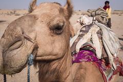 Rajasthan - Jaisalmer - Desert Safari with Camels-4