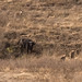 A mother cape buffalo looks on as spotted hyenas eat her calf