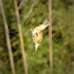 trapped in the net (AntonioSala) Tags: pájaro bird net trap trampa red