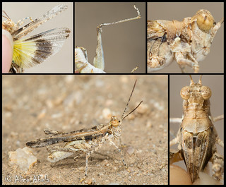 Derotmema laticinctum - Male