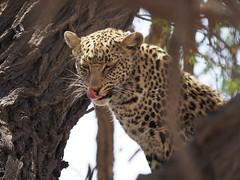 PA012197 Leopard (Joanna P Dale) Tags: kgalagaditransfrontierpark tweerivieren olympus omdem1mkii panasonic100400 africanleopard leopard