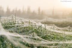 Vernetzt (Fooß) Tags: sonne morgen nebel spinnennetz tau gegenlicht