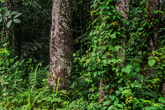 FORESTA DI CAUCCIU'    ----    RUBBER FOREST (Ezio Donati is ) Tags: foresta forest alberi trees caucciu rubber hevea natura nature panorama landscape verde green africa costadavorio forestaareabini forestadicaucciu