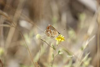 Mariposa. #enriquemalaga #lepidopteros #mariposa #mariposadiurna #insecto