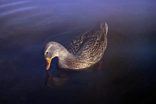 Mallard at Burnaby Lake