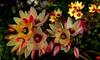 BRIGHT LIGHTS (Lani Elliott) Tags: nature naturephotography lanielliott flowers springbulbs ixia ixias ixiabicolour garden homegarden bulbs bright light color colour colourful glowing superb excellent beautiful incredible gorgeous