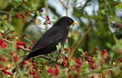 blackbird (Tim Gardner pics) Tags: