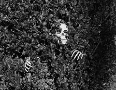 Peek-a-BOO! (peter.a.klein (Boulanger-Croissant)) Tags: blackandwhite bw black white blanc noir noiretblanc negro blanco schwarz weiss skull skeleton halloween scary boo laurel hiding concealed sneaky ghost spectre specter hedge
