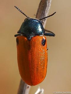 Escaravelho // Leaf Beetle (Labidostomis taxicornis)