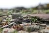 Vipère péliade ( vipera berus ) (Noam Meresse) Tags: vipera vipère lumix 42mm serpent snake gros plans juvéniles adder berus péliade