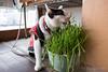 佐藤かきや ネコ (GenJapan1986) Tags: 2017 ネコ 佐藤かきや 動物 塩竈市 宮城県 日本 japan miyagi cat animal fujifilmx70