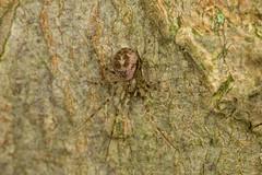 Drapetisca socialis (Jens Hyldstrup Larsen) Tags: barkjæger drapetiscasocialis edderkopper araneae tæppespindere linyphiidae