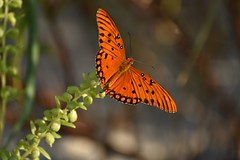 Butterfly Migration (Hollingsworth18) Tags: happy beach migration colorful colors orange sea islands wings