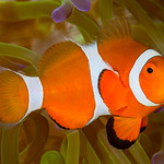 False Clown Anemonefish - Amphiprion ocellaris thumbnail