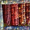 Corn Colors (Steve4343) Tags: nikon d70s corn colors corncolors bakercreek heirloom seeds bakercreekheirloomseeds orange red purple pink blue steve4343
