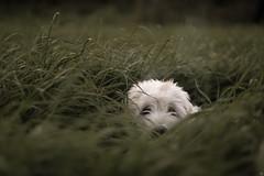 Too Short (Cle Manuel) Tags: golden doodle puppy dog grass gras meadow nature pets animals retriever sony canon fd alpha clemanuel cle manuel dogphotography hundefotografie tierfotografie erlangen cute süs hund white fur eyes wiese