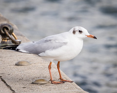 Black-headed Gull (non-breeding adult)