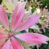 Fifty shades 4 (Clem M) Tags: feuilles leaves rose pink rosé delicate jaune yellow garden jardin shades dégradé nuances