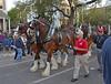 Clydesdale Time! (BKHagar *Kim*) Tags: bkhagar mardigras neworleans nola la louisiana clydesdales budweiser budweiserclydesdales horses equine parade celebration outdoor street napoleon uptown
