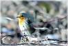 Rotkehlchen 13 MW (kairemwatt) Tags: rotkehlchen vögel standvogel