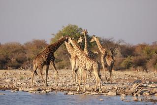 Giraffe Greet and Meet at the Waterhole Etosha Namibia Africa