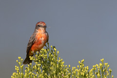 Vermillion Flycatcher (gilamonster8) Tags: yellow bird blue bokeh beyondbokeh beak bill black brown plant park pollen wing water white quality arizona american sky explore eos eyes eat explored ef400mm56l desert color canon common red flight flickrelite flycatcher fly tucson tail green great gray garden branch ngc usa insect orange lake shrub bush brush broom 7dmarkii sigma 150600mm