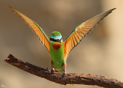 Blue Cheek Bee Eater (Riaz . khan) Tags: beeeater canon600mm canon1dx riaz islbirder action beeater hunting birds islamabad pakistan punjab photography