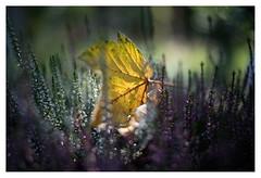 Autumn (leo.roos) Tags: autumn fall herfst leaf blad leaves bladeren yellow geel heather hei heide a7rii shenzhendongzhengoptics dzo kerlee3512 12 darosa leoroos fotodioxdlxstretchlensmountadapter fmount